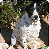 Adopt A Pet :: SIMON - Gilbert, AZ