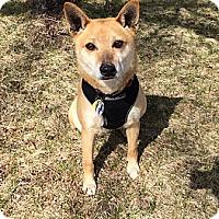 Adopt A Pet :: Hiro - Centennial, CO