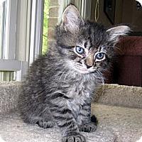 Adopt A Pet :: Adonis - Arlington, VA