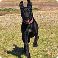 Labrador Retriever Mix Dog for adoption in Quinlan, Texas - Grace
