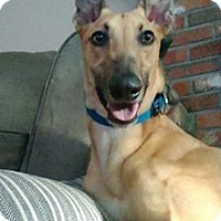 Adopt A Pet :: Adron - Ware, MA