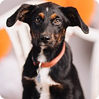 Adopt A Pet :: Aurora - Portland, OR