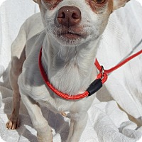 Adopt A Pet :: Buddy(6 lb) Sweet Character! - Sussex, NJ