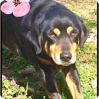 Adopt A Pet :: Rosalind - Plainfield, CT