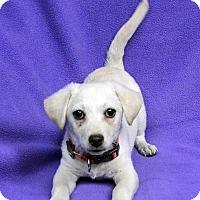 Adopt A Pet :: Roxanne - Westminster, CO