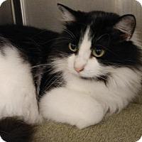 Adopt A Pet :: Domino (F) - Hurst, TX