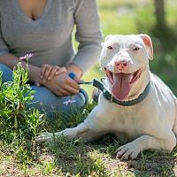 American Bulldog Mix Dog for adoption in Santa Monica, California - Aramis