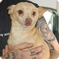 Adopt A Pet :: Norman - Brooklyn, NY