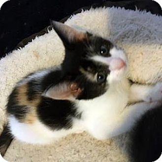 Domestic Shorthair Kitten for adoption in Austin, Texas - Ida
