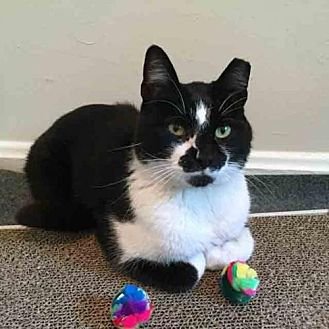 Domestic Shorthair Cat for adoption in Arlington, Virginia - Mac