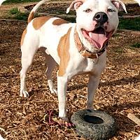 American Bulldog/American Pit Bull Terrier Mix Dog for adoption in O'Fallon, Missouri - Dash *excellent running buddy*