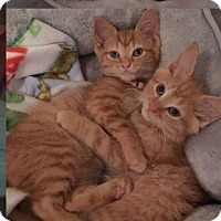 Adopt A Pet :: Prince Charming - Horsham, PA