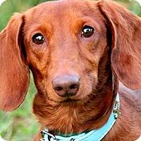 Adopt A Pet :: OSCAR(ADORABLE