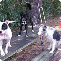Pit Bull Terrier Mix Dog for adoption in Muskegon, Michigan - Inca