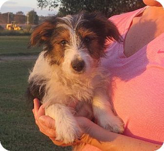 Sheltie, Shetland Sheepdog/Yorkie, Yorkshire Terrier Mix Puppy for adoption in Rochester, New York - Raymond