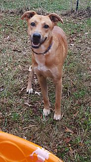 Labrador Retriever Mix Dog for adoption in Gainesville, Georgia - Shaggy