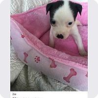 Adopt A Pet :: Zoe (Addys litter) - Wenonah, NJ