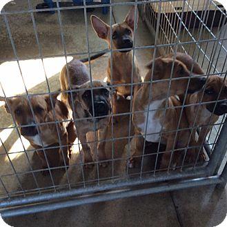 Belgian Malinois Mix Dog for adoption in Mechanicsburg, Ohio - Maddie
