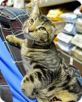 Domestic Mediumhair Cat for adoption in Horn Lake, Mississippi - Harry Potter