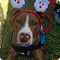 Adopt A Pet :: Big Red - Holmes Beach, FL