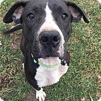 Adopt A Pet :: Crissy - Dayton, OH