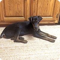 Adopt A Pet :: Little Bear - Petersburg, VA