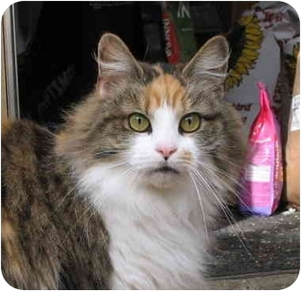 Calico Cat for adoption in Cincinnati, Ohio - Trisha