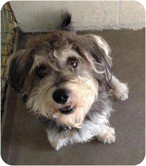 Schnauzer (Standard)/Shih Tzu Mix Dog for adoption in Winter Haven, Florida - Chubbs