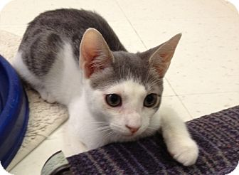 Domestic Shorthair Cat for adoption in Island Park, New York - Deano