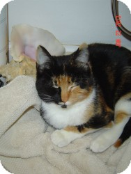 Munchkin Cat for adoption in Medford, New Jersey - Marigold