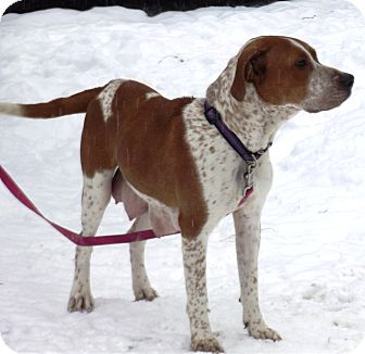 Redtick Coonhound/Boxer Mix Dog for adoption in Morgantown, West Virginia - Sadie