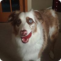 Adopt A Pet :: Sydney - Elk River, MN