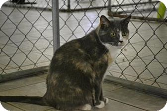 Domestic Shorthair Cat for adoption in East Smithfield, Pennsylvania - Gracie