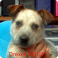 Adopt A Pet :: Drexel - baltimore, MD