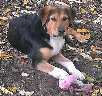 Shepherd (Unknown Type)/Hound (Unknown Type) Mix Dog for adoption in Livonia, Michigan - Tenny