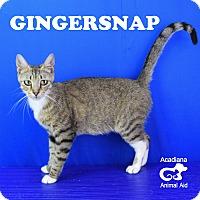 Adopt A Pet :: Ginger Snap - Carencro, LA
