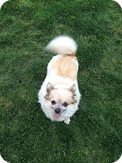Chihuahua Dog for adoption in Indianapolis, Indiana - Pumpkin