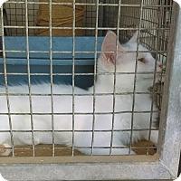 Adopt A Pet :: Snowball - Tonopah, AZ