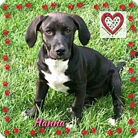 Labrador Retriever/Basset Hound Mix Puppy for adoption in Elgin, Illinois - Hannah