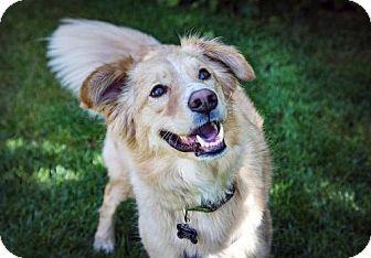 Golden Retriever/Border Collie Mix Dog for adoption in Boulder, Colorado - Sundance
