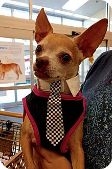 Chihuahua Dog for adoption in Maryville, Tennessee - Bobby