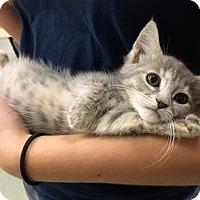 Adopt A Pet :: Harley Quinn - St. Louis, MO