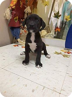 Labrador Retriever Mix Puppy for adoption in Patterson, New York - Ripley