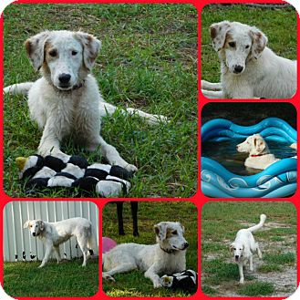 Shepherd (Unknown Type)/Setter (Unknown Type) Mix Dog for adoption in Inverness, Florida - Nico