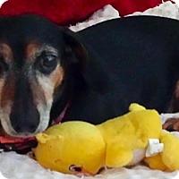 Dachshund Dog for adoption in Portland, Oregon - POPPY