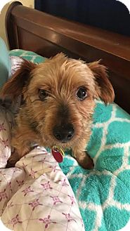 yorkie rescue missouri springfield mo yorkie yorkshire terrier mix meet 7940