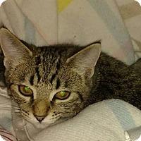 Adopt A Pet :: Allie - Rochester Hills, MI