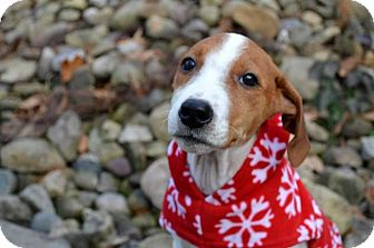Hound (Unknown Type)/Terrier (Unknown Type, Medium) Mix Puppy for adoption in Pittsburgh, Pennsylvania - Hannah