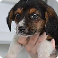 Adopt A Pet :: Cadet - Danbury, CT