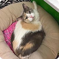 Adopt A Pet :: Almond - Lakewood, CO